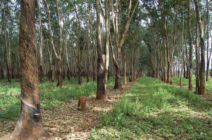 Cam Tran – Lịch sử trồng cao su
