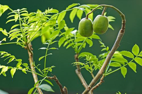 Nguyễn Long – Lá cóc rừng